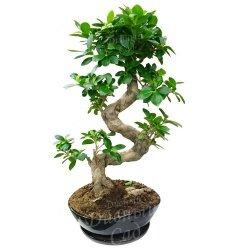цветок бонсай для озеленения офиса