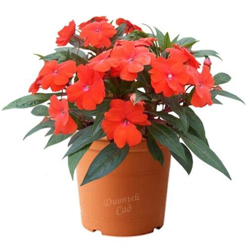 Цветы и описание фикус 77